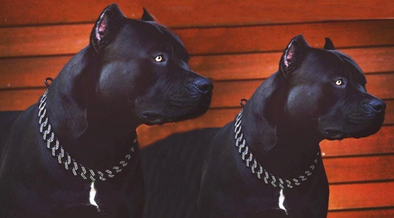 Black Pitbulls twins