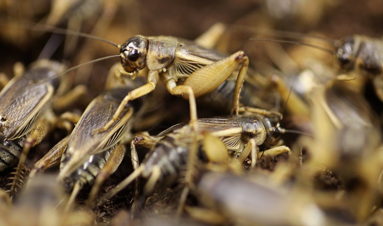 Crickets breeding requires an optimal habitat