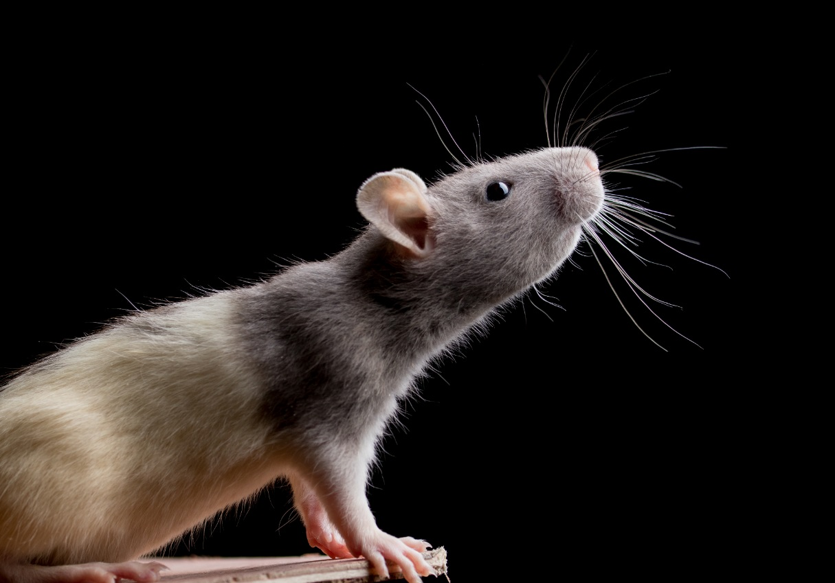Rats have their very own language