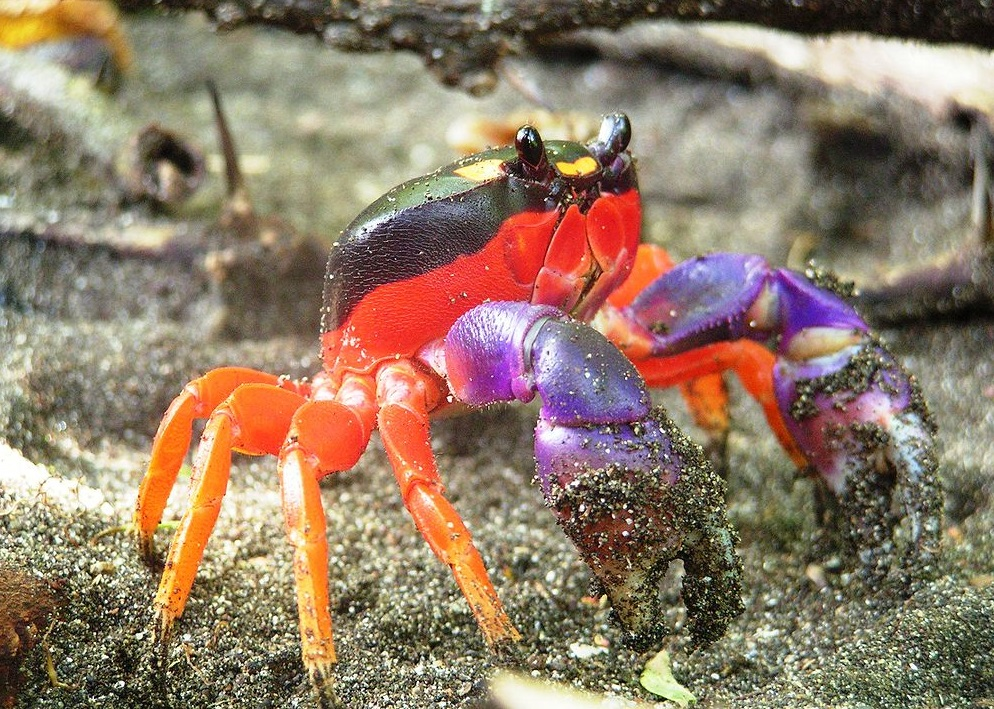 The stunning Halloween Moon Crab