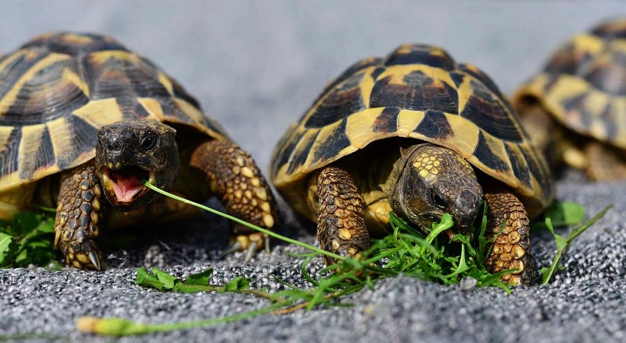 Tortoises fighting over food