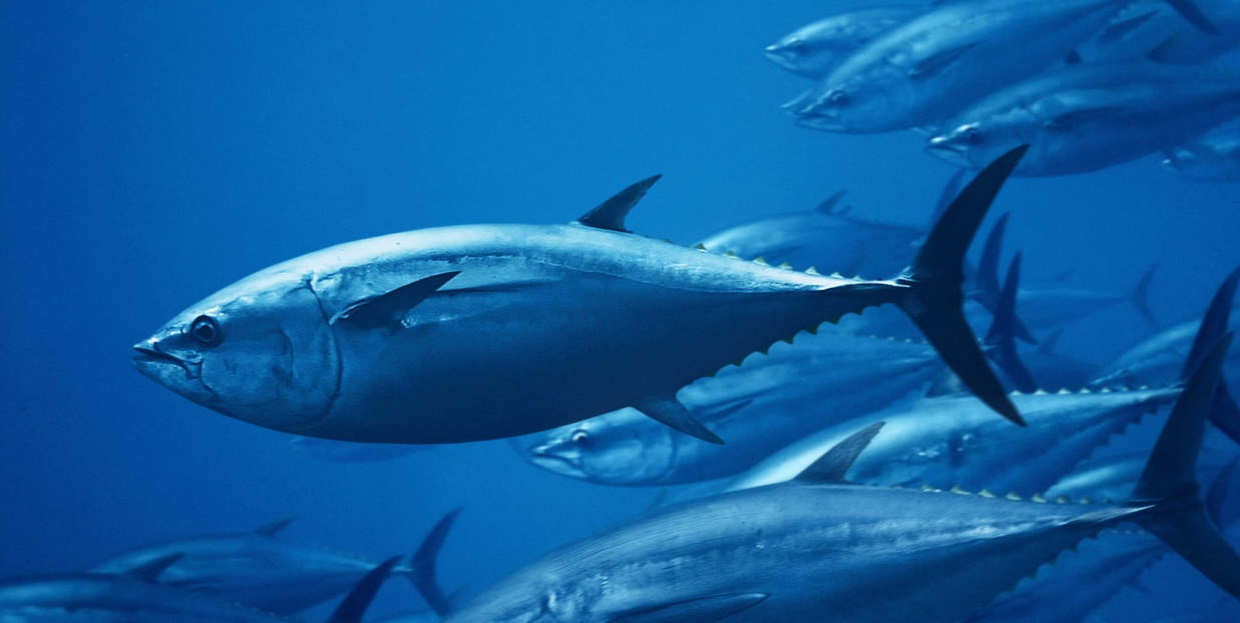 Tuna fish is some good food for your dog