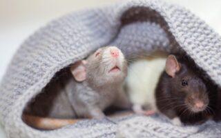 Recognise your pet rat noises