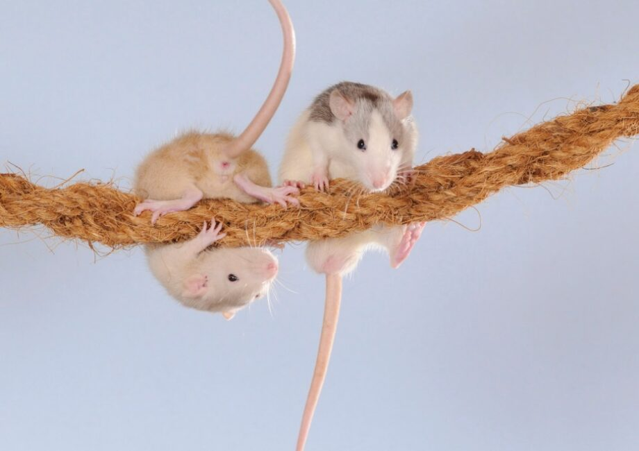 Keep your house safe for your pet rodent