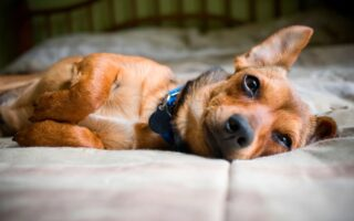 Why the adorable chiweenies dogs are the ultimate companions
