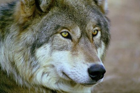 The wolf look alike Native American Indian breed
